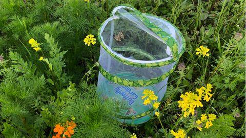 Schmetterlinge züchten: Schmetterlingsgarten mit Distelfaltern steht in einer Blühwiese