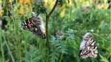 Schmetterlinge züchten: Zwei Distelfalter sitzen in einer Wildblumenwiese