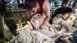 Usingen, Deutschland: Im Frühjahr steht bei Schafen die Total-Rasur an. Das dichte Wollkleid wird minutenschnellvon Schafscherern entfernt. Da kann man für die kahl geschorenenTiere nur hoffen,dass es draußenwarm bleibt. Nicht, dass sie einen Sommerschnupfen bekommen.