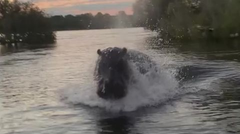 Aggressives Nilpferd attackiert Safari-Touristen