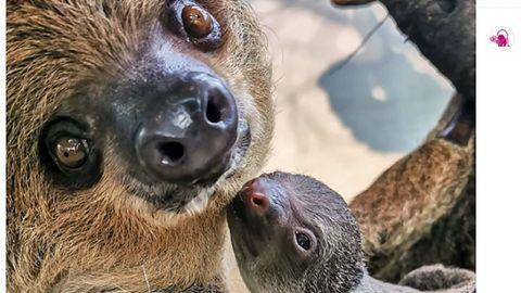 Faultier-Mama Marlies mit ihrem Neugeborenen