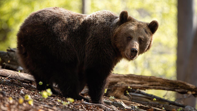 Ein Bär als Symbolfoto