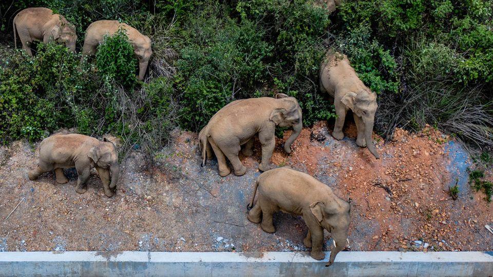 Unterschiedlich große Elefanten gehen entlang einer Betonbegrenzung durch ein Gebüsch
