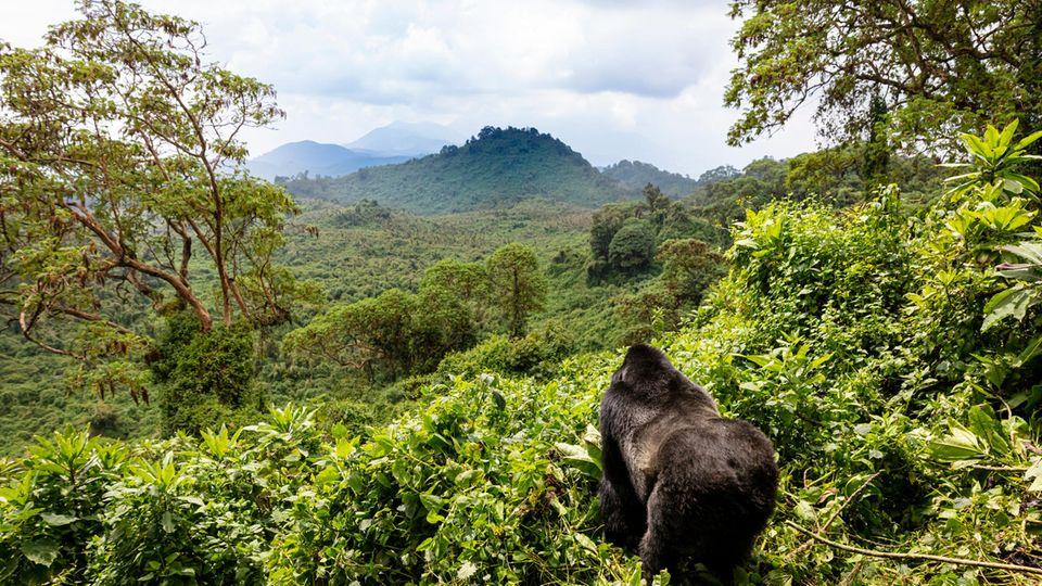 In Ruanda haben Gorillas fremden Nachwuchs adoptiert