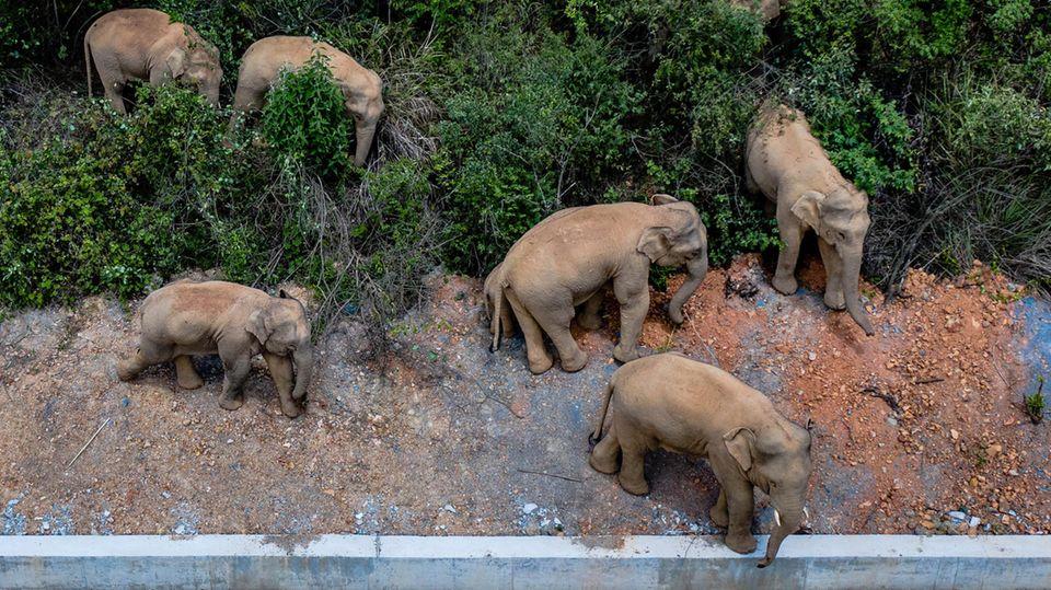 China: Wilde Elefantenherde seit Monaten auf der Flucht – Forscher zeigen sich ratlos