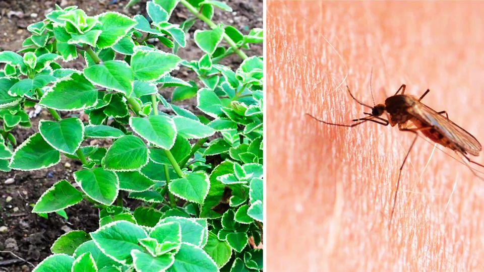 Plectranthus-Pflanze und eine Stechmücke