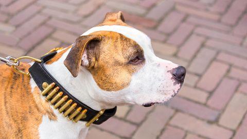 Eine junge Frau wurde in England von ihren Staffordshire Terrier totgebissen