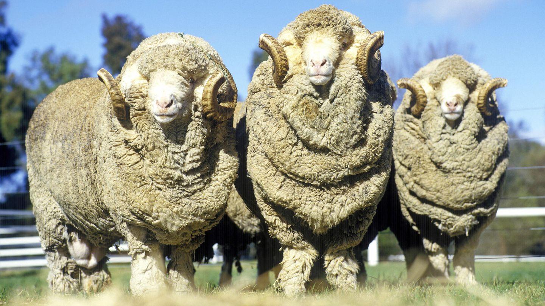 Mulesing bei Schafen: Das Problem mit der Merinowolle