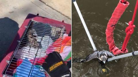 Vor hungrigen Welsen gerettet: Polizei zieht verunglückten Wanderfalke aus Flussgewässer