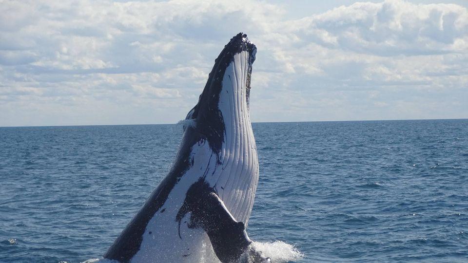 Ein Buckelwal in Australien