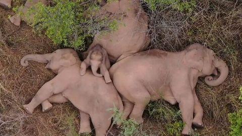 Schlafende Elefanten