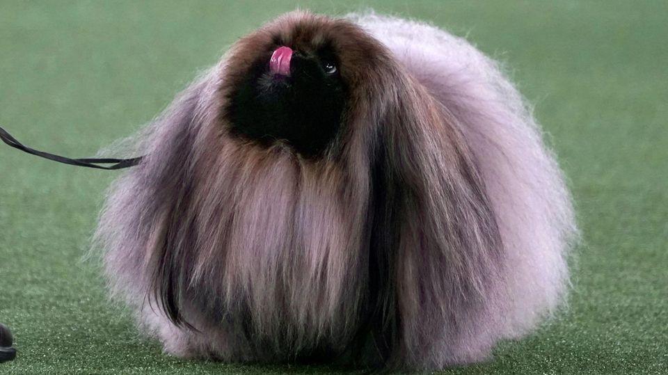 """Tarrytown, USA. Pekingese """"Wasabi"""" wartet bei der 145.alljährlichen Hundeschau des Westminster Kennel Clubauf die Entscheidung der Jury und – wie könnte es bei seinem Aussehen anders sein– holt am Ende den ersten Platz."""