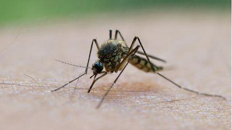 Stechmücke saugt Blut aus einem Arm.