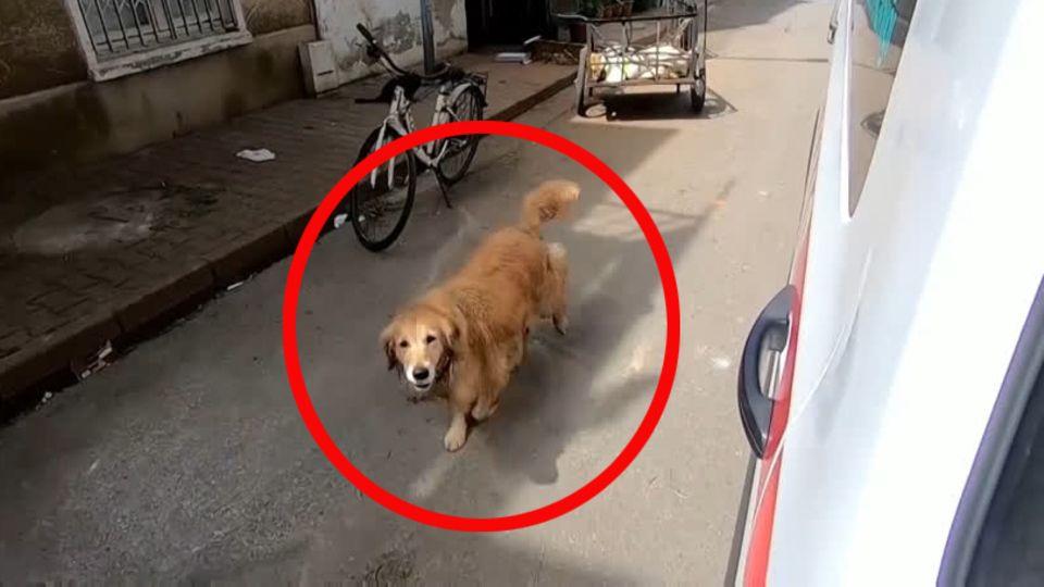 Ein Golden Retriever läuft neben einem weißen Kastenwagen auf der Straße an einem abgestellten Fahrrad vorbei