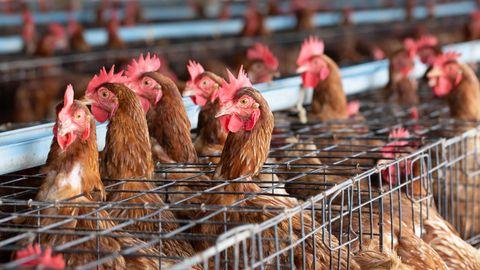 Hühner im Käfig