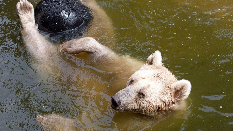 Als Bär kann man sich bei dieser Hitze schonmal ins Wasserfallen lassen. Menschen müssen etwas erfinderischer sein