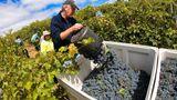 Bild 1 von 12der Fotostrecke zum Klicken:Australien gehört zu den zehn führenden Weinnationen. In den letzten zwei Jahrzehnten haben die Weine vom fünften Kontinent einen enormen Qualitätsschubs erfahren. Die meisten Winzer bauen ihre Reben zwischen dem 30. und 40. südlichen Breitengrad an, wo das Klima mit dem in Norditalien vergleichbar ist.