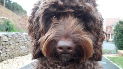 Digby ist eine Kreuzungen aus Labrador und Großpudel