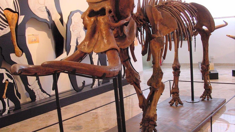 Die szizilanischen Elefanten sind Miniaturausgaben ihrer großen Verwandten.