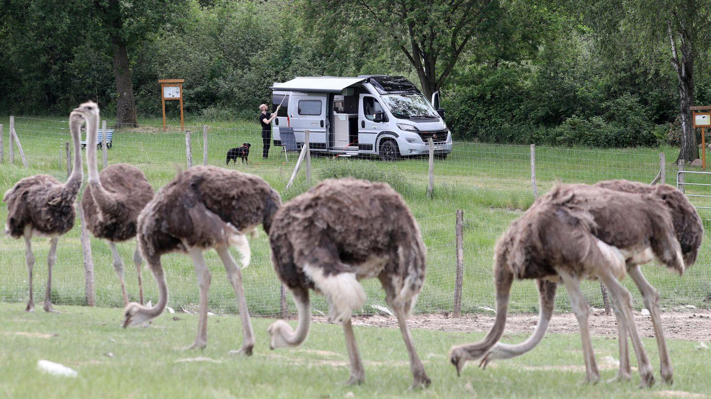 Tierische Szene nicht in Südafrika, sondern auf der Straußenfarm Riederfelde bei Lübz inMecklenburg-Vorpommern.