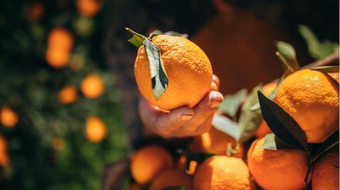 Studie offenbart Zustände auf Zitrus- und Orangenfarmen in Südafrika.
