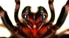 Die Trichternetzspinne sieht der Vogelspinne ähnlich und wird oft mit ihr verwechselt. Das Männchen ist etwas kleiner als das Weibchen, aber sechsmal giftiger, was sie zur gefährlichsten Spinne der Welt macht. Die kräftigen Beißwerkzeuge sollen sogar durch feste Schuhe dringen können. Erstaunlicherweise ist das Gift nur für Menschen und Primaten nicht jedoch für andere Insekten giftig. Krankenhäuser halten stets ein Gegengift parat. Seit der Erfindung des Gegengiftes sind die Todesfälle seit den 1980 Jahren auf Null zurückgegangen.