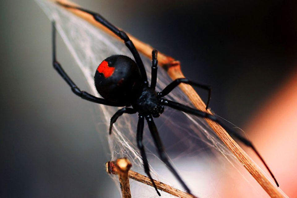 """Bild 1 von 13der Fotostrecke zum Klicken:Die Rotrückenspinne, eine enge Verwandte der amerikanischen Schwarzen Witwe, besitzt ein sehr langsam wirkendes Nervengift, das Schmerzen, Schweißausbrüche, Übelkeit und Halluzinationen auslöst und auch zum Tode führen kann. Jedoch ist nur das Weibchen der Art gefährlich. Die kleinen Spinnen verstecken sich gern in Nischen, unter Treppen oderin Blumentöpfen. Jedes Jahr werden rund 300 Menschen von einem """"Red Back Spider"""" gebissen. Es gibt ein schnell wirkendes Gegengift."""