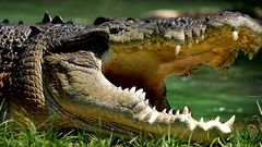 Leistenkrokodile können bis zu sechs Meter lang und bis zu 1000 Kilogramm schwer werden. Das macht sie zu den gefürchtetsten Jägern Nordaustraliens.Es ist das größte Reptil der Welt und das einzige Tier Australiens, das aktiv Jagd auf Menschen macht, wenn sie sein Gebiet betreten. Besonders das Weibchen ist extrem reizbar, wenn es seine Eier verteidigt