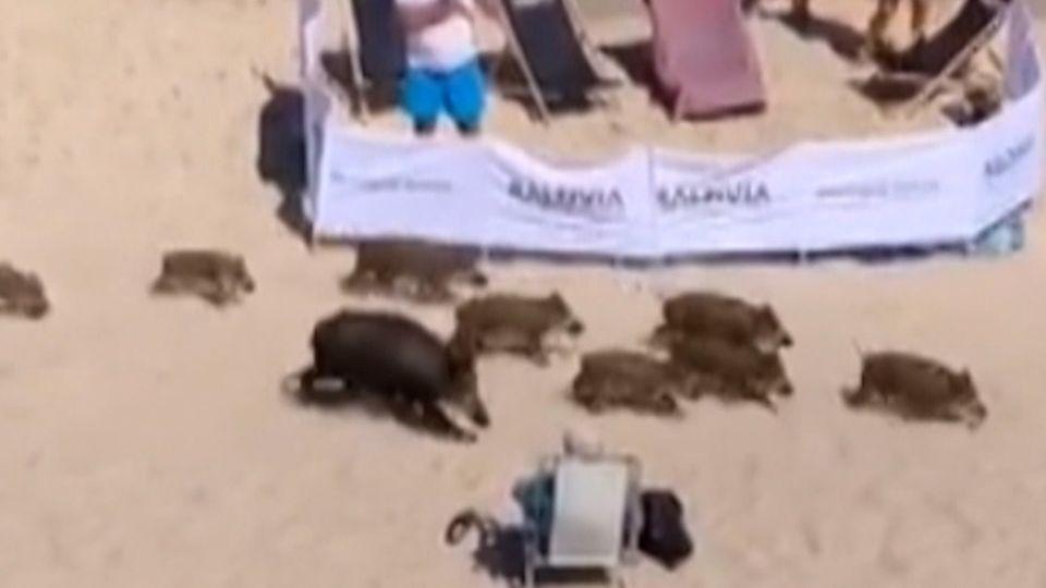 Polnische Ostsee: Hier machen auch Wildschweine Strandurlaub