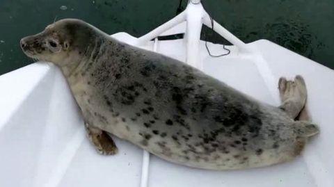 Cornish Seal Sanctuary: Eine Eistorte zum 31. Geburtstag – da freut sich die Seerobbe