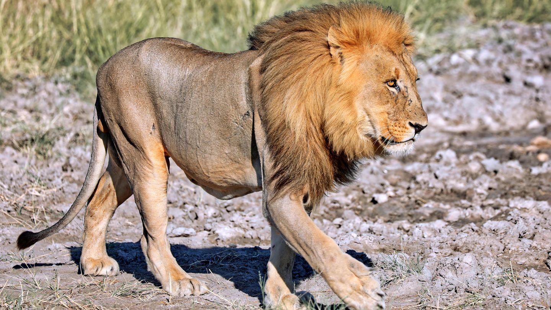 Ein Löwe läuft durch die Savanne