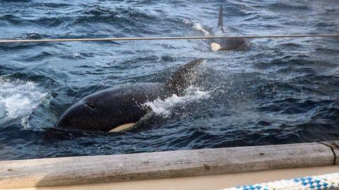 Orcas im Meerwasser