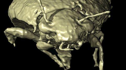 Käfer hat 230 Millionen Jahre in Dinokot überdauert
