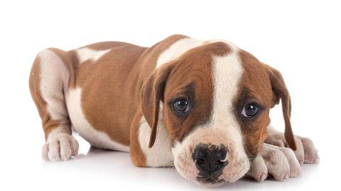 Ein amerikanischer Bulldoggen-Welpe:Das Landgericht Weiden entscheidet Mitte Juli über die Anklage des illegalen Erwerbseines Welpens. (Symbolbild)