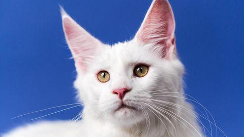 Katzen seien laut den Wissenschaftlern besonders anfällig für das Coronavirus