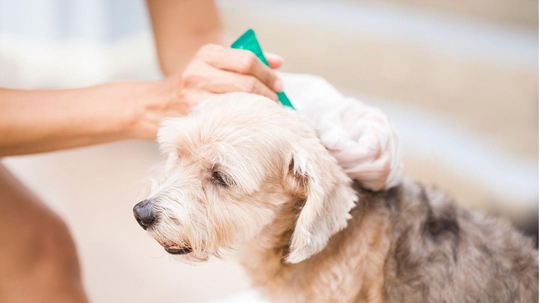 Einem Hund wird ein Anti-Flohmittel verabreicht