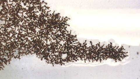 Zeitraffer: Ameisen bauen Superfloß – Was Forscher daraus lernen wollen