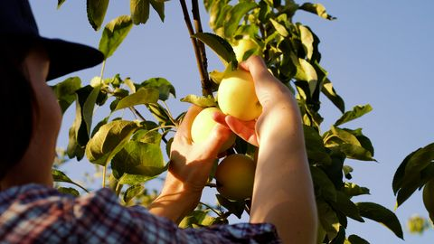 Junifall beim Apfelbaum