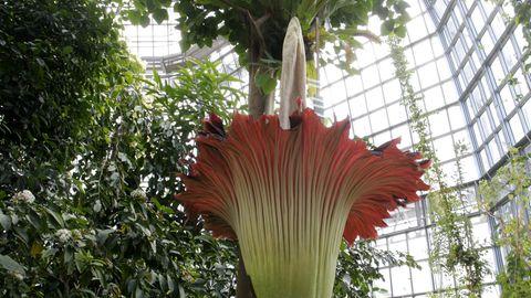 Eine Titanenwurz in voller Blüte umgeben von anderen Tropenpflanzen