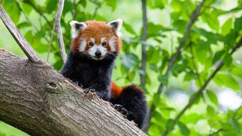 Ein Kleiner Panda im Duisburger Zoo
