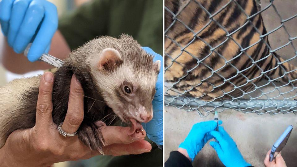 Coronavirus: Zoo-Tiere bekommen Covid-19-Impfung (Video)