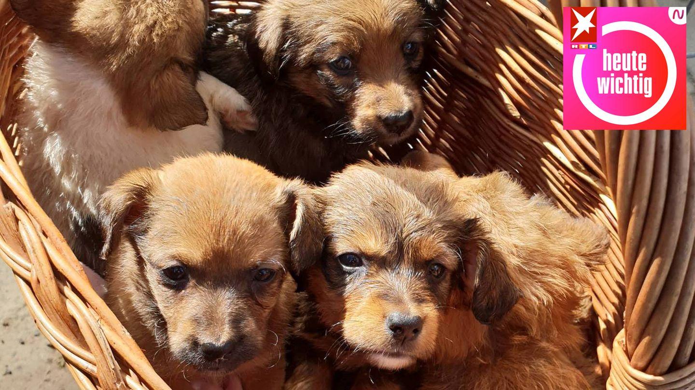 Hundewelpen im Korb