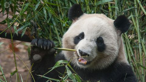 Ein Panda isst Bambus