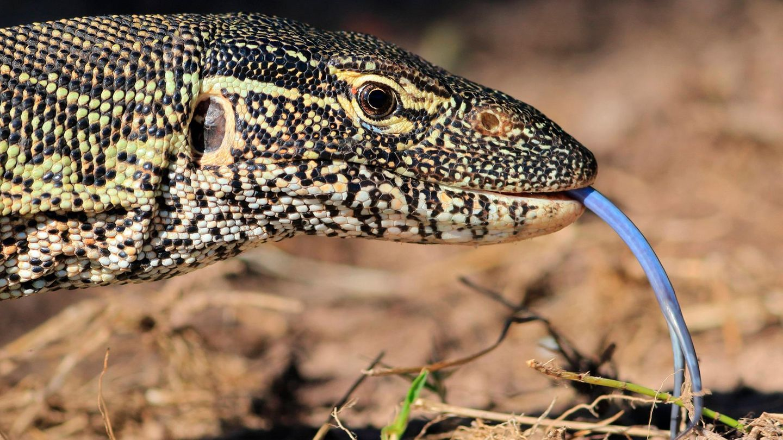 Der Kopf eines Nilwarans mit seiner langen, schmalen, blauen Zunge