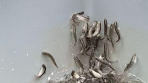 Die Lachse einer Aufzuchtanlage in NRW reagieren in Panik