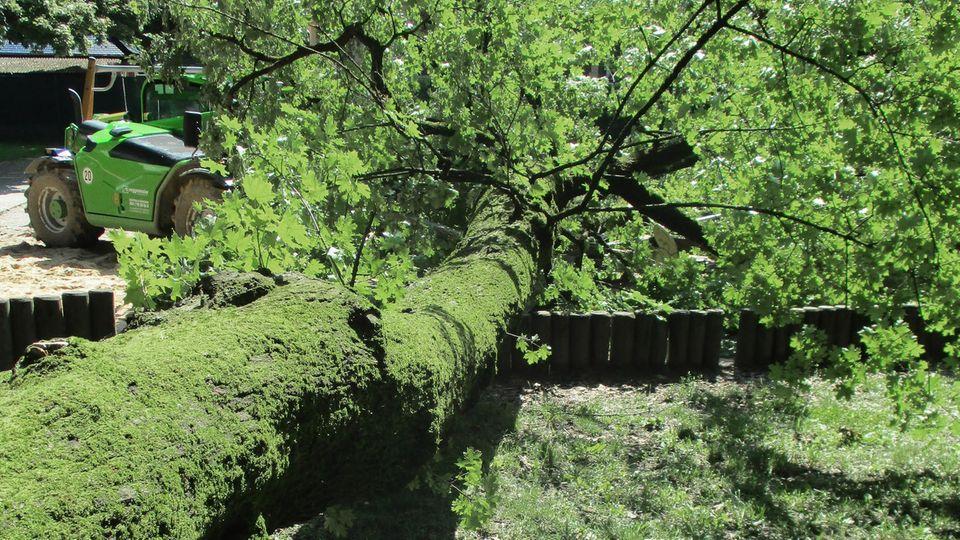 Der umgestürzte Baum begrub eine 28-Jährige und ihr etwa zweijähriges Kind unter sich
