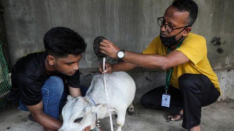 Tausende wollen Mini-Kuh in Bangladesch sehen.