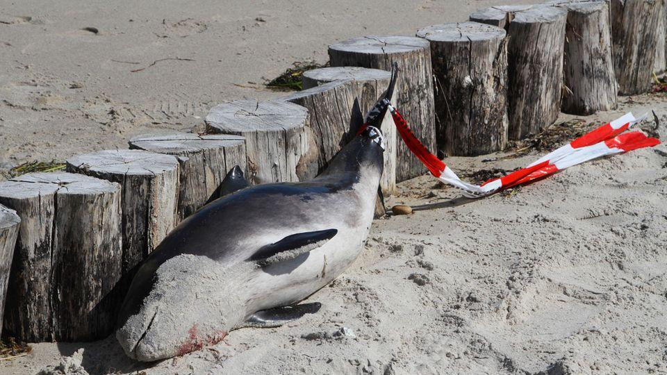 Ein toter Schweinswal an der Ostseeküste