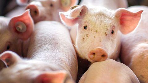 Ferkel stehen in der Box einer Schweinezuchtanlage
