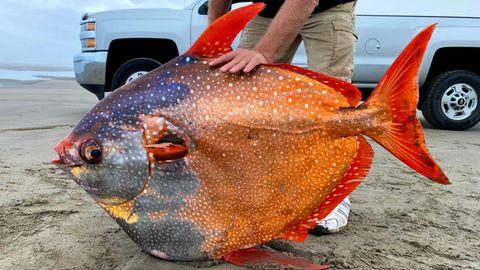 Mondisch: Ein riesiger Opah wurde im US-Bundesstaat Oregon an Land gespült.
